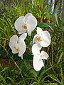Orchidées-Jardin botanique de Peradeniya-Sri Lanka (13).jpg