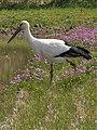 Oriental Stork, Apr.2018 Japan.jpg
