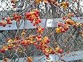 Oriental bittersweet winter 1.jpg