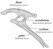 Ornithischia pelvis ru.png