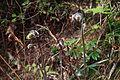 Osmunda japonica (17115161879).jpg