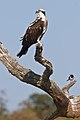 Osprey (5484751435).jpg