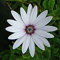 Osteospermum (3875520228).jpg