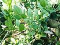 Osyris lanceolata, loof en blomme, a, Seringveld.jpg