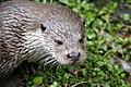 Otter (14967522211).jpg