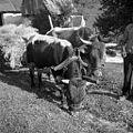 """Oves peljejo na vozu """"podrit?nku"""" (ker je svet strm), Vojsko- v Humu 1959.jpg"""