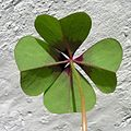 Oxalis tetraphylla Iron Cross20100503 225.jpg