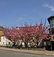 Oxford CowleyRd 37–39 south blossom.jpg