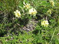 Oxytropis campestris02.jpg