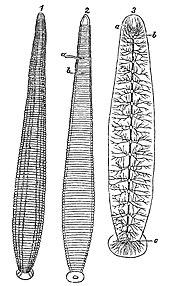 leech wikipediathe leech and its nervous system
