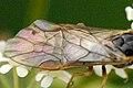 Pachynematus.clitellatus9.-.lindsey.jpg