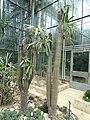Pachypodium lamerei - Botanischer Garten Freiburg - DSC06342.jpg