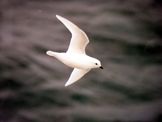 Snow petrel - Image: Pagodroma nivea in ross sea 1