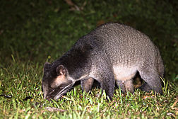 Masked palm civet - Wikipedia