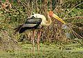 Painted Stork Mycteria leucocephala by Dr. Raju Kasambe. DSCN7364 (3).jpg