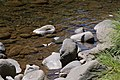 Pale swallowtail butterfly flying over a creek.jpg