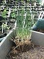 Pancratium maritimum seedlings - Flickr - peganum.jpg
