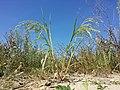 Panicum miliaceum subsp. agricola sl38.jpg