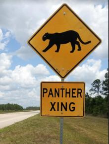 Florida panther - Wikipedia