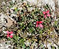 Papaver cf hybrida - Flickr - S. Rae (1).jpg
