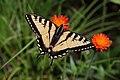 Papilio canadensis PJC3.jpg