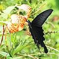 Papilio macilentus on Lilium leichtlinii.JPG