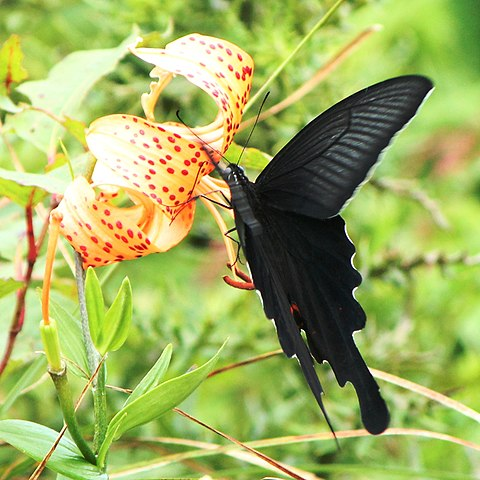 Sưu tập Bộ cánh vẩy 2 - Page 66 480px-Papilio_macilentus_on_Lilium_leichtlinii