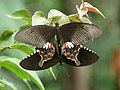 Papilio polytes mating at Kadavoor.jpg