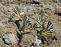Papillons Iphiclides podalirius (Flambés).jpg