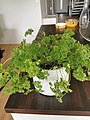 Parsley plant in a pot 04.jpg