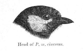 Cinereous tit - Head pattern