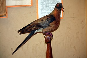 Preparation of a male passenger pigeon