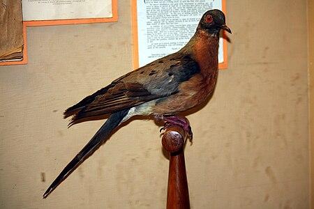 Die Wandertaube  450px-Passenger_Pigeon_065