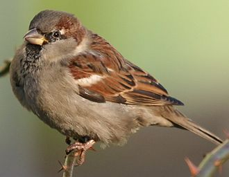 House sparrow - Male house sparrows in breeding (left) and nonbreeding (right) plumage