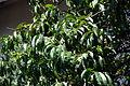 Peach Tree 4 2013-06-30.jpg
