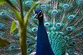Peacock head with plumage (14290789484).jpg