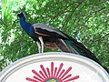 Peafowl of south India.jpg