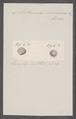 Pectunculus nummarius - - Print - Iconographia Zoologica - Special Collections University of Amsterdam - UBAINV0274 076 06 0016.tif