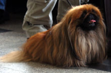 Gifts for Pekingese Dog Lovers