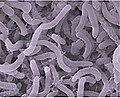 Pelagibacter.jpg