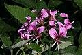 Pelargonium cordifolium 3zz.jpg