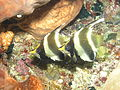 Pennant Bannerfish, Bunaken Island.jpg