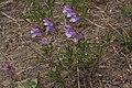 Penstemon fruticosus 4732.JPG