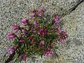 Penstemon newberryi - Flickr - pellaea.jpg