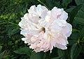 Peony in Bloom.jpg