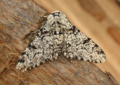 Peppered moth - biston betularia (42702615314).png