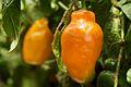 Peru - Cusco 098 - Peruvian rocoto peppers (7360325120).jpg