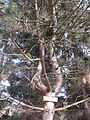 Petrovice, borovice černá u Botiče.jpg