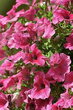 English: Petunia (Petunia x hybrida).