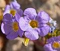 Phacelia fremontii flower 3.jpg